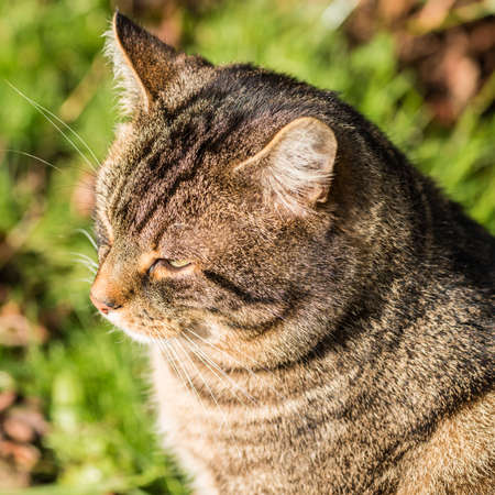 Un gros plan de la tête d'un chat tigré.