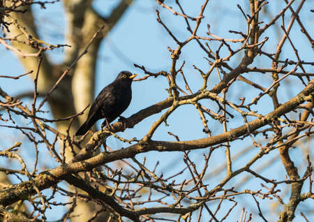 A shot of a blackbird sitting in a tree. photo