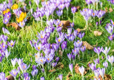 turf flowers: A shot of some crocus nestling in some green grass.