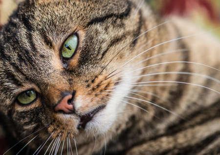 eye green: Un tiro de primer plano de un gato atigrado, centr�ndose en un ojo verde.