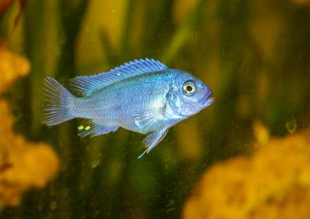 cichlid: A macro shot of a cobalt blue zebra cichlid.