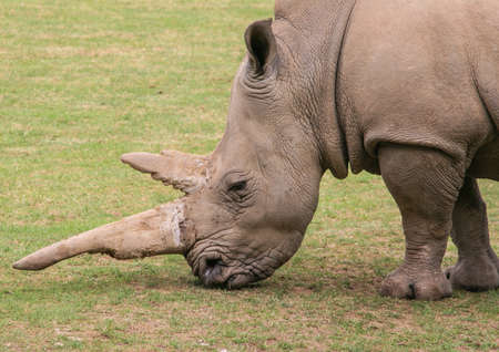 A close-up view of a rhino and its impressive horn.