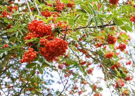 rowan tree: A macro shot of some rowan tree berries. Stock Photo