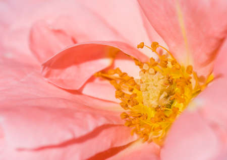anther: A macro shot of a Queen Elizabeth rose. Stock Photo