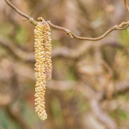 albero nocciola: Un colpo di macro di amenti di un nocciolo contorto.