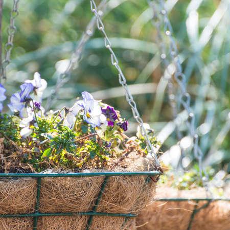 hanging basket: A shot of a hanging basket containing viola blooms.