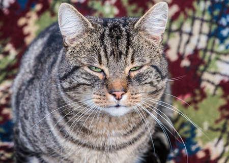 gato atigrado: Un primer plano de un gato atigrado.
