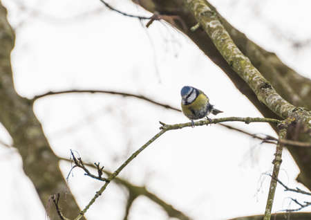 cyanistes: A shot of a blue tit sitting on the branch of a tree.