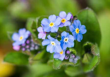 anther: A macro shot of some forget me not blooms.
