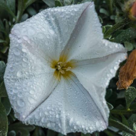 convolvulus: A macro shot of a white convolvulus bloom.
