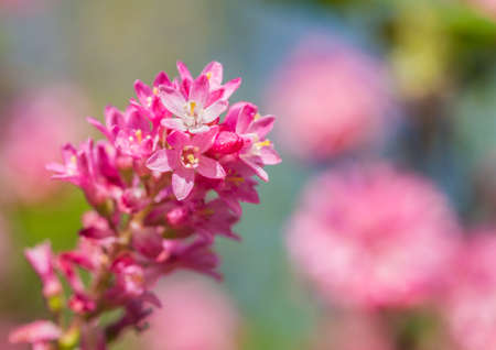 ribes: A macro shot of some pink ribes blossom.