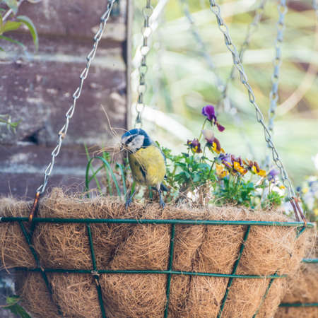 hanging basket: A shot of a blue tit collecting nesting material from the liner of a hanging basket.