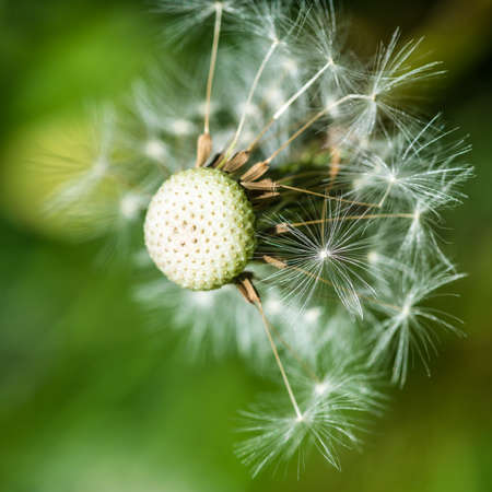 dispersed: A macro shot of a dispersed dandelion seed head. Stock Photo