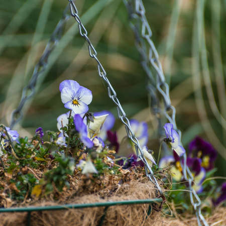 hanging basket: A shot of a viola standing out in a springtime hanging basket display. Stock Photo