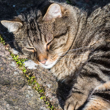 catnap: A tabby cat sleeps outdoors in the sunshine.