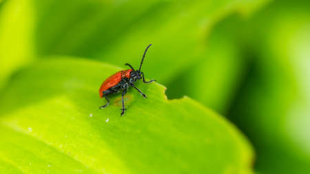 A macro shot of a red lily beetle standing next to a large bite from a lily leaf.