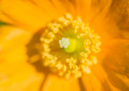 insides: A macro shot of the insides of a Welsh poppy.