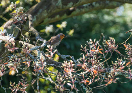 red breast: A robin red breast sits in the branches of a tree. Stock Photo