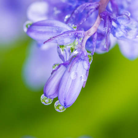 bluebell: A macro shot of a wet bluebell. Stock Photo