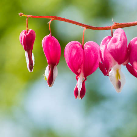 bleeding heart: A macro shot of the blooms of a bleeding heart plant, with a green visitor. Stock Photo