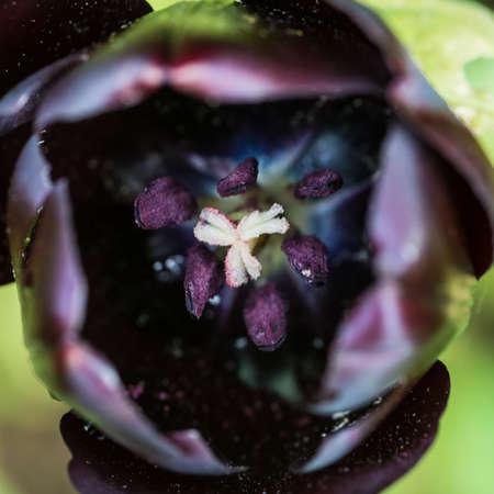 Siyah lale merkezi haline bakarak bir makro çekim.
