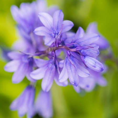 bluebell: A macro shot of some bluebell blooms.