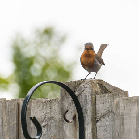 red breast: A robin red breast sits on a garden fence post.