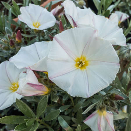 convolvulus: A macro shot of some white convolvulus flowers. Stock Photo