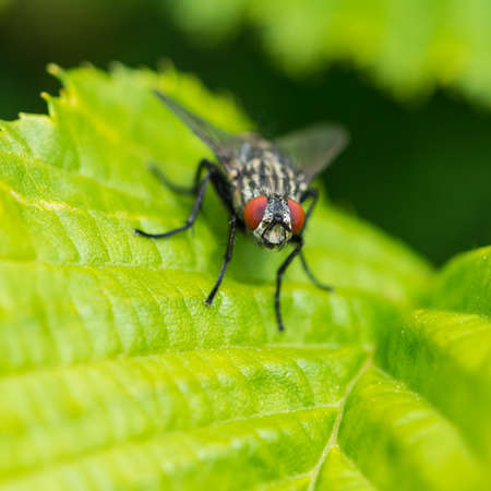 red eyed: A macro shot of a red eyed fly sitting of a green leaf. Stock Photo