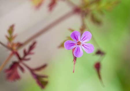 violette fleur: Une photo macro d'une petite fleur pourpre.