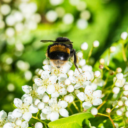 stamen wasp: A macro shot of a bumblebee collecting pollen from some pyracantha blossom.