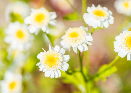 anther: A macro shot of some feverfew blooms.