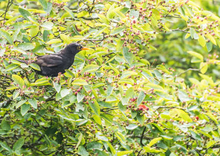 A shot of a blackbird sitting in a juneberry tree. Stock Photo