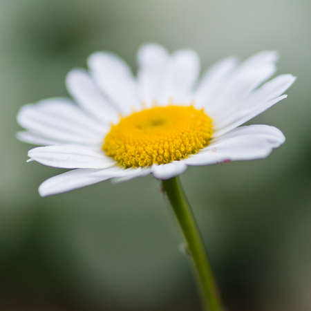 ox eye: A macro shot of an ox eye daisy shot with very shallow depth of field.