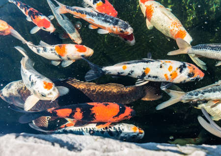 koi carp: A shot of several koi carp swimming about in a pond.