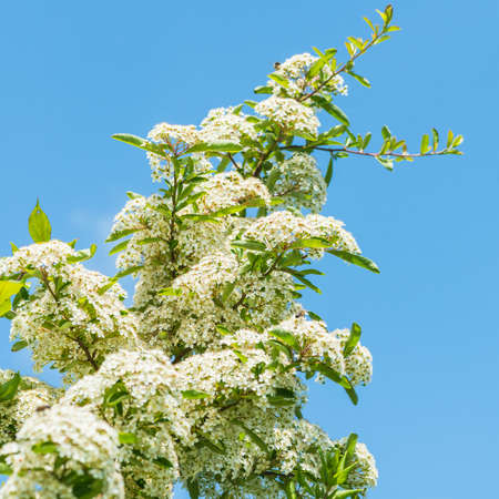 laden: A shot of a blossom laden pyracantha bush growing upwards into a blue sky.