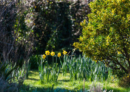 hedges: A shot of some daffodils standing between to garden hedges. Stock Photo