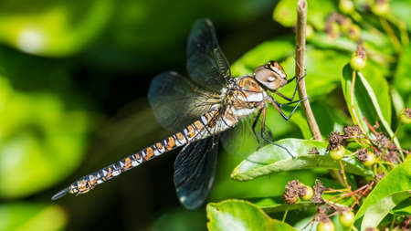 hawker: A macro shot of a migrant hawker dragonfly. Stock Photo