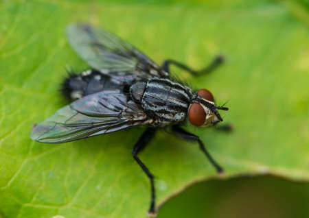 A macro shot of a flesh fly sitting on a green leaf.