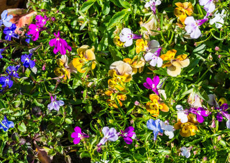 lobelia: A close-up shot of some viola and lobelia blooms.