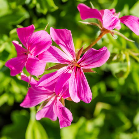 trailing: A macro shot of the pink blooms of a trailing geranium plant.