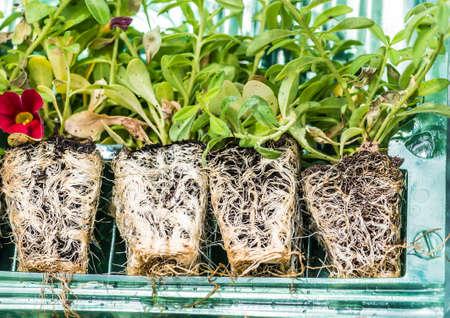 raices de plantas: Un tiro macro de algunas raíces calibrachoa plantas enchufe. Foto de archivo