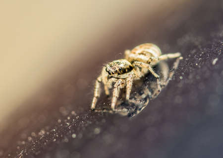 salticidae: A macro shot of a zebra jumping spider, and its reflection.