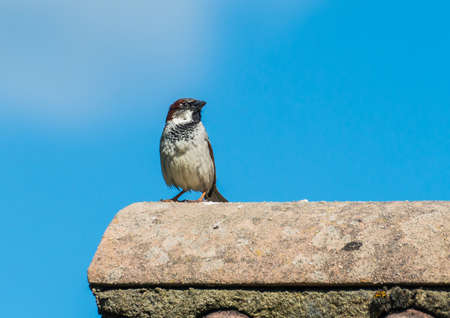 roof ridge: A shot of a house sparrow standing on a rooftop.