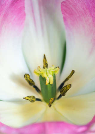 anther: A macro shot looking into a the centre of a pink tulip.