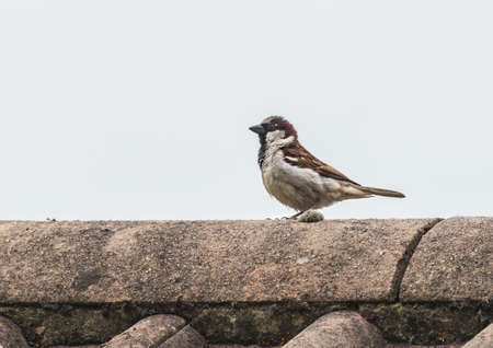 roof ridge: A shot of a house sparrow sitting on the roof of a house. Stock Photo