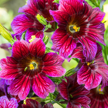 anther: A macro shot of a group of purple salpiglossis blooms. Stock Photo