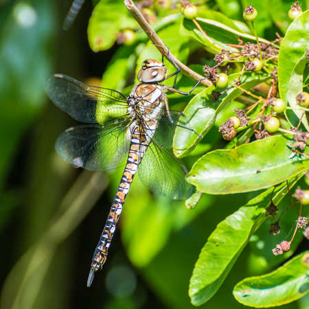migrant: A macro shot of a migrant hawker dragonfly. Stock Photo