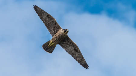underwing: A shot of a peregrine falcon flying through a cloudy blue sky. Stock Photo