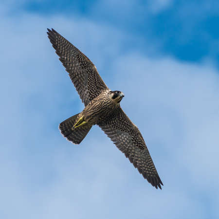 A shot of a peregrine falcon flying through a cloudy blue sky. Stock Photo